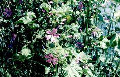 MALVA - Plantas Medicinais