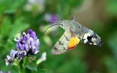 Papillon - Moro sphinx - Il vole comme un colibri