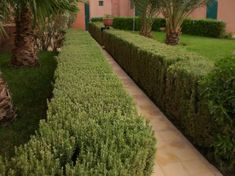 re-pin. Rosemary hedging, I hope mine turns out to look as good as this, nice and dense and well clipped.