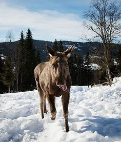 At a moose farm in Duved, Sweden, a moose calf prances through the snow with its tongue sticking out, looking all cute.