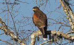 Peuco - AVES DE CHILE San Clemente, Bald Eagle, Birds, Animals, World, Animals Beautiful, Eggs, Nature, Bird