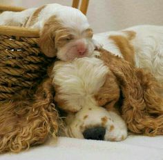 Cocker spaniel pup with mother.