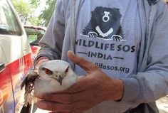 The #WildlifeSOS Rapid Response Unit rescued a #BlackShoulderedKite from Safdarjung Airport, New Delhi. The bird had injured her wings after colliding with a chopper and is currently undergoing treatment. If you come across any wild bird in distress in Delhi NCR, please call the Wildlife SOS #Helpline Number: +91-9871963535