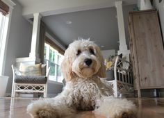 Lily the Australian Labradoodle - The Inspired Dog Blog