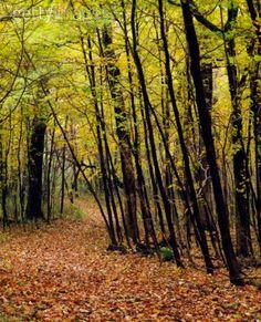 Forest trail through autumn color trees, Myre-Big Island State Park, Minnesota, USA.