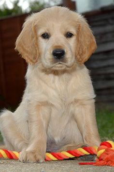 Love of Goldens   ...........click here to find out more     http://guy.googydog.com