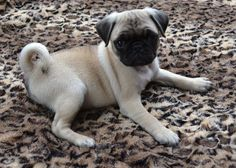 Thank you to our friend @dapuglet for sharing the #cuteness.  #pugpower #puglove…