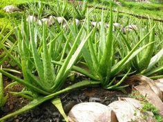 7 amazing uses for aloe vera