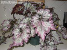 Begonia Lalomie