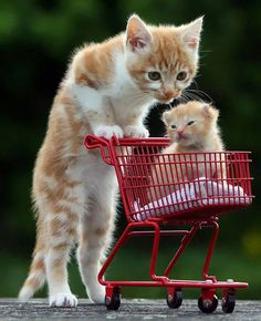 Cute kittens put on a trolley good show Cute Kittens, Cats And Kittens, Kittens Playing, Cute Funny Animals, Cute Baby Animals, Animals And Pets, Animal Babies, Photo Chat, Cute Animal Pictures
