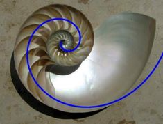 The near-perfect Fibonacci spiral-shape of the nautilus.
