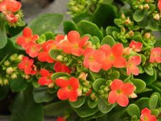Orange Kalanchoe Plant with thick, scalloped leaves (great information) www.houseplants411.com