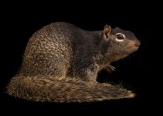 Common rock squirrels can be found from North and Central America through to south-central Mexico. This species is very adaptable and can thrive in habitats ranging from arid canyons to urban areas. Photographed at Austin Wildlife Rescue, TX.