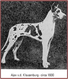 CH Ajax vd Klausenburg. (Ador-Viktoria x Monika Tipp-Topp)  Harl, blue carrier. Ajax was imported to the US around 1930 by John P. Wagner who later had the famous Mazelaine boxers. Sire in USA of Hendrick's Cuno (H) leading to Mountdania Harls.