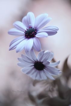 Daisy by Rina Barbieri on Wallpaper Nature Flowers, Flower Background Wallpaper, Beautiful Flowers Wallpapers, Flower Phone Wallpaper, Flower Backgrounds, Flowers Nature, Exotic Flowers, Amazing Flowers, Pretty Flowers