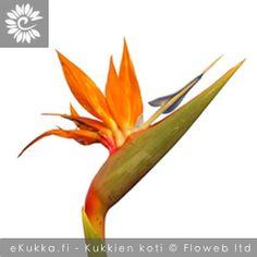 Kolibrikukka (Helokolibrikukka), Strelitzia reginae Gerbera, Plants, Plant, Planting, Planets