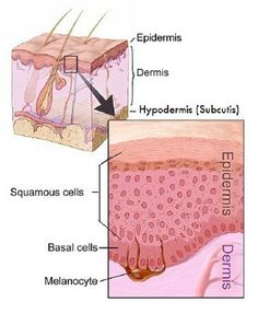 The integumentary system consists of the largest organ in the body, the skin. This organ protects the internal structures of the body from damage.
