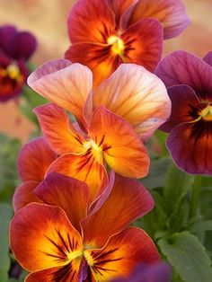 Sunset Summer Embers (pansies), Wisconsin Rapids, Wisconsin photo via joinsey - The whole flower is edible, sepals and all. Pansies have a mild, minty flavor. The flowers work well for candying and make great decorations on top of hor d'oeuvres and cakes. Flowers Garden, Planting Flowers, Fall Planting, My Flower, Beautiful Flowers, Cactus Flower, Exotic Flowers, Purple Flowers, Flower Beds