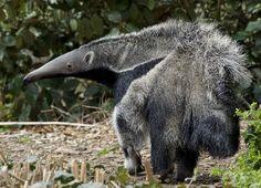 Giant Anteater | Flickr - Photo Sharing!
