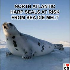 #‎ClimateChange‬ Is Too Hot For Harp Seals  Full story