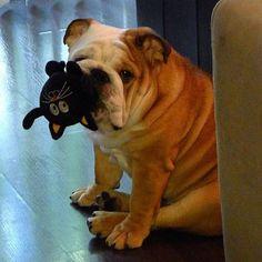 English Bulldog with toy cat