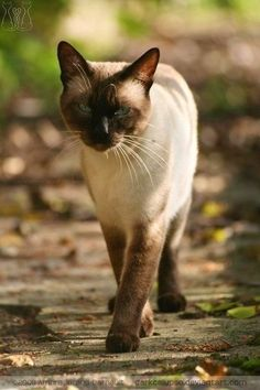 Post anything (from anywhere!), customize everything, and find and follow what you love. Create your own Tumblr blog today. #SiameseCat Pretty Cats, Beautiful Cats, Siamese Cats, Cats And Kittens, Gato Gif, Oriental Cat, Image Chat, Cat Reference, Cat Urine