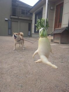 The Life and Times of a Japanese Radish. Kriemsbat encounters the daikon's most dangerous predator in the wild, the fluffy shiba.