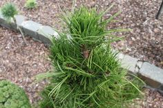 This dense, pyramidal pine has dark-green needles that first emerge in short clusters at each branch tip. The contrast of needle length is truly outstanding! Pine, Herbs, Garden, Plants, Pine Tree, Garten, Herb, Gardens, Planters