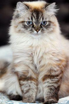 Looks like my old cat Jezebel! #persiancatdollface