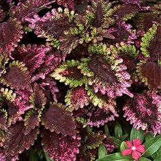 """Coleus """"Sun Rose"""" learn to care for coleus plants https://www.houseplant411.com/houseplant/coleus-how-to-grow-care-tips"""