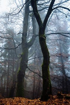 Dancing in the fog... - Trees in the morning fog....