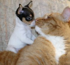 Toy Fox Terrier and a cat