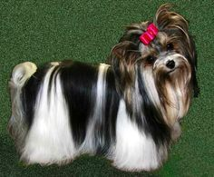 Biewer Yorkie ... Beautiful