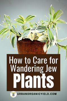 Wondering Jew Plant, Purple Heart Plant, Wandering Jew, Ground Covering, Rural Area, Outdoor Areas, Patio Ideas, House Plants, The Outsiders