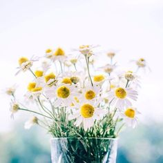 Chamomile flower found in our Moisturizing Mousse Ultra-Fine Daily Body Scrub soothes the skin, reduces skin irritation and accelerates healing of breakouts, sunburns and minor wounds, it will also nourish and rejuvenate the skin, adding a beautiful glow. #fernberryskincare