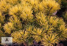 Pinus mugo 'Carsten' (P. mugo 'Carsten's Wintergold') - Сосна горная 'Carsten' (Carsten's Wintergold')