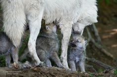 Arctic Wolf Pups and Mom - Parc Omega Nature Preserve, Montebello, Quebec by Rudy in Ottawa on Flickr.Arctic Wolf Pups and Mom - Parc Omega Nature Preserve, Montebello, Quebec