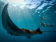 Picture of a snorkeler and a giant manta ray in Ningaloo Reef, Australia