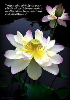 Buddhist quotes lotus lotus flower buddha quote photograph a lotus quotes google search mightylinksfo Choice Image