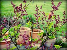 small lilac · zwergflieder · wird nur einen meter fünfzig hoch und eher breit und buschig ··· #gardening (Zwergflieder ist keine in Deutschland natürlich vorkommende Art! Er ernährt kaum Viecher und ist biologisch von vernachlässigbarem Nutzen. Also unbedingt zusammen mit anderen NÜTZLICHEN Arten setzen!!)