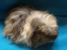 merino guinea pig (same as coronet but with curly hair not straight)