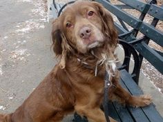 Eddie - Boykin Spaniel/Cocker Spaniel mix - 2 yrs old - Male - Abandoned Angels Cocker Spaniel Rescue - Flushing, NY. - http://www.nyabandonedangels.com/ - https://www.facebook.com/AbandonedAngels - http://www.adoptapet.com/pet/11436257-flushing-new-york-boykin-spaniel-mix - https://www.petfinder.com/petdetail/28924748/