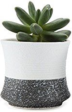 The jade plant, care for these small, sturdy succulents is simple and the Crassula (real name) is a great beginner houseplant, along with the spider plant. Jade Succulent, Jade Plants, Spider Plants, Houseplant, Plant Care, Succulents, Planter Pots, Simple, Color