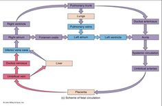 Fetal Circulation Made Easy | Human Fetal Circulation