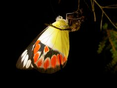 butterfly photographed at night