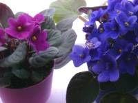 african violet plants, saintpaulia - caring for african violets