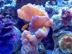 fox coral - Google Search
