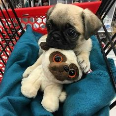 Pug on Pug stuffy.
