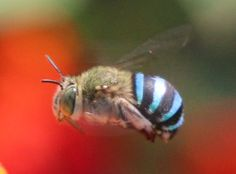 """This is the Blue-banded Bee (Amegilla cingulata), a very beautiful insect that is also amazingly important to the agriculture of Australia."""