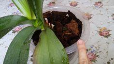 ✈Супер способ. Как быстро восстановить орхидею фаленопсис. Что делать с ...